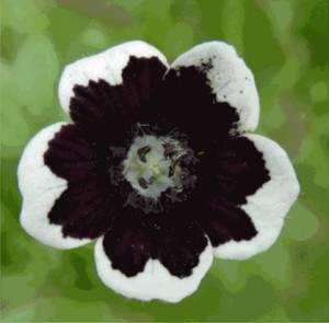 Penny Black Nemophila Looks Like it is Wearing a Tuxedo