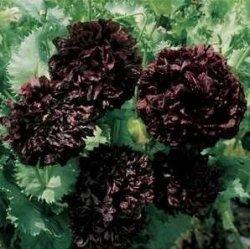 Black Peony Papaver Paeoniflorum
