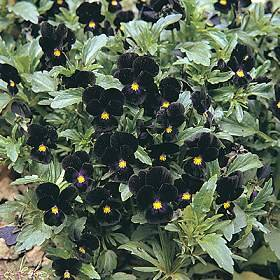 Bowles Black Viola: The Perfect Black Flower