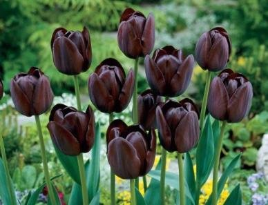Queen of the Night Tulip