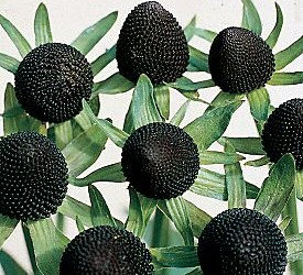 Black Coneflower