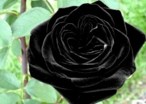 black rose 300x214 Black Rose, the Ultimate Gothic Flower