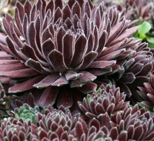Sempervivum 'Crimson Velvet' Hen and Chicks