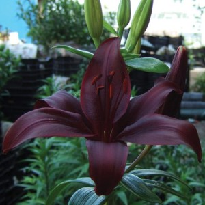 Black Jewel Lily
