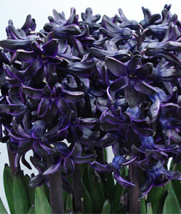 Dark dimension hyacinth
