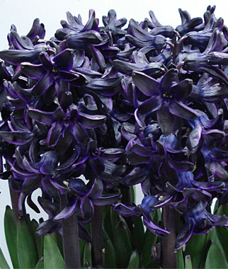 Hyacinth, Dark Dimension