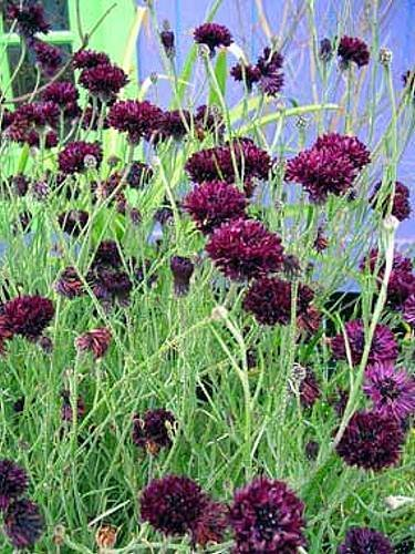 Centaurea Cyanus Black Ball Cornflower