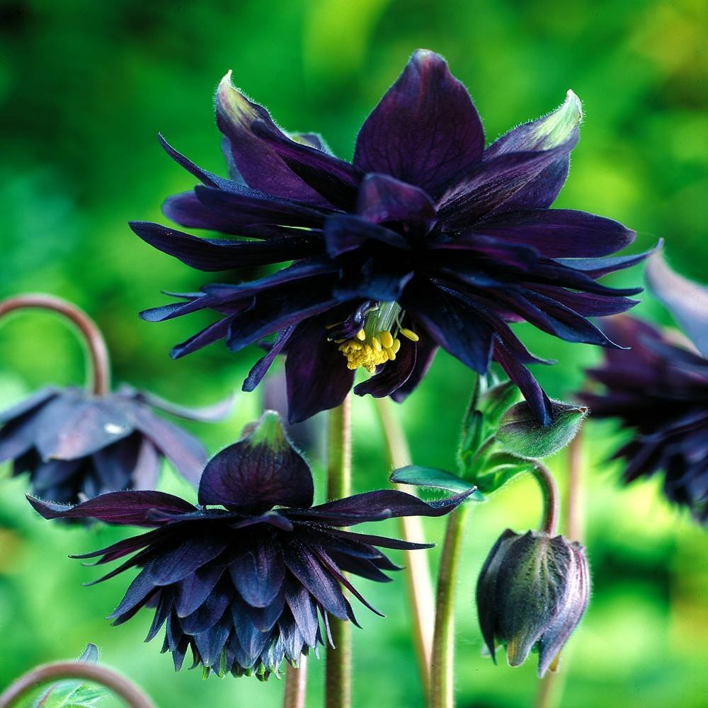 Black Barlow Columbine is Gothic in Appearance