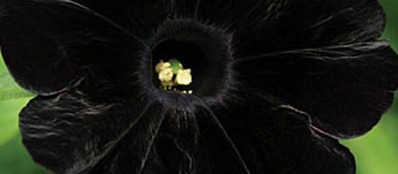 Black Cat Petunia