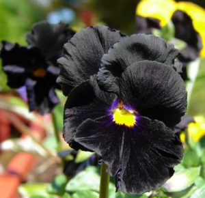 What Makes the Black Devil Pansy Ideal for Gothic Gardens?