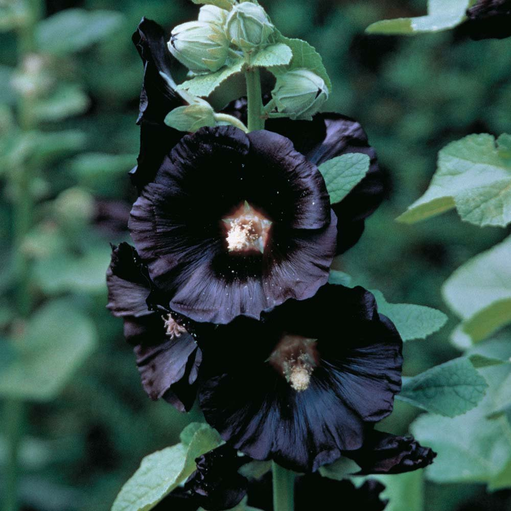 Black Nigra Hollyhock (Alcea rosea): Perfect Bloom for a Gothic Garden