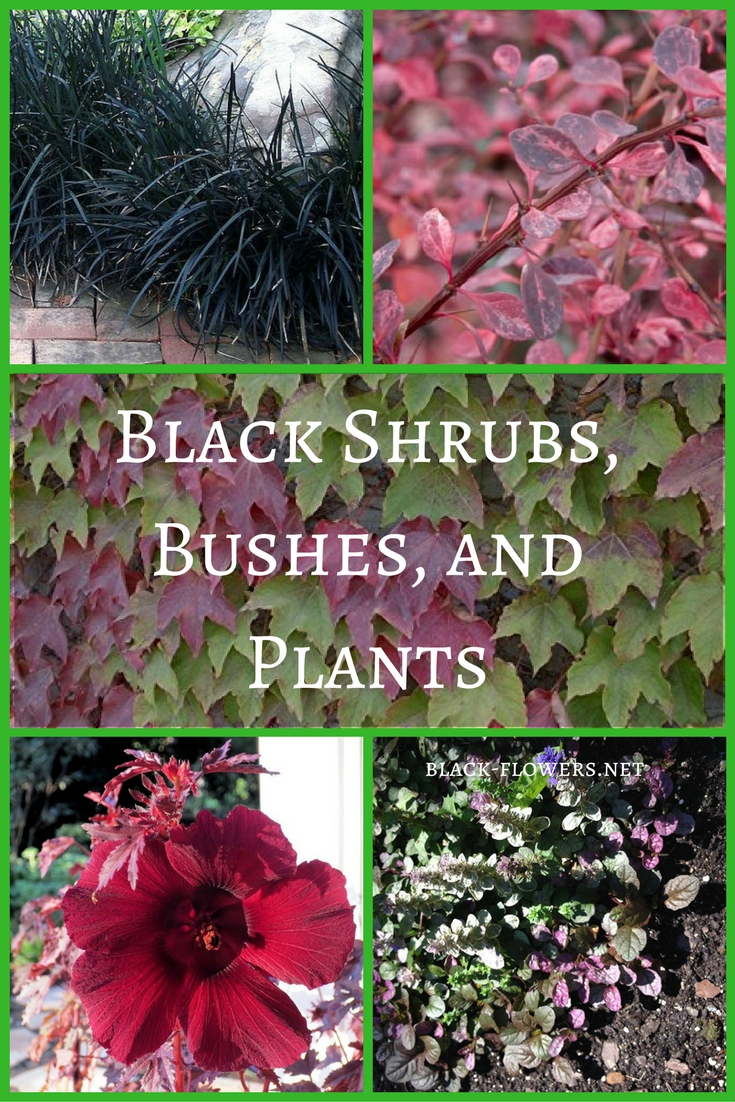 Black Shrubs Bushes Plants