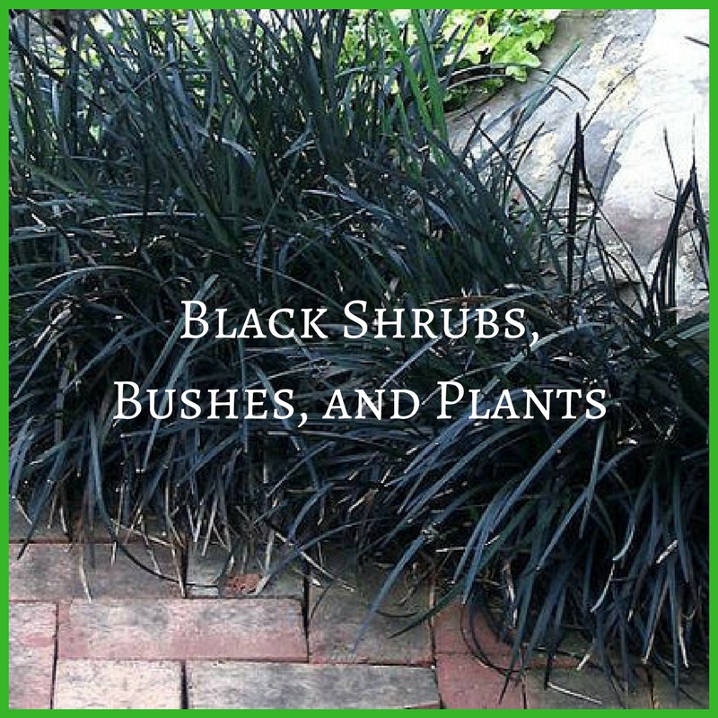 Black Shrubs, Bushes, and Plants