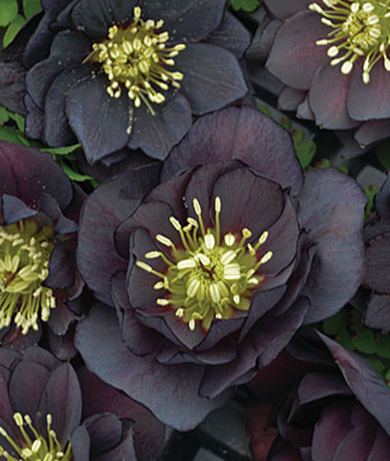 New Black Flowers and Fruits for 2016