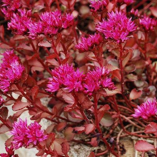 Voodoo Sedum Flowering