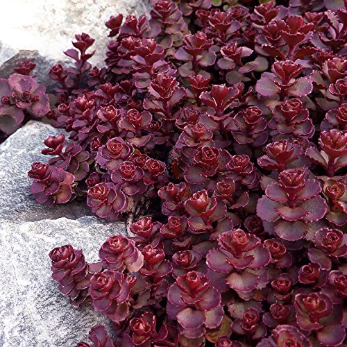Voodoo Sedum Perennial Ground Cover